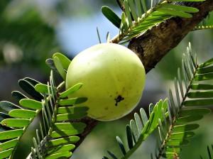 indian-gooseberry-337445_1280