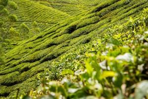 tea-leaves-139617_1280